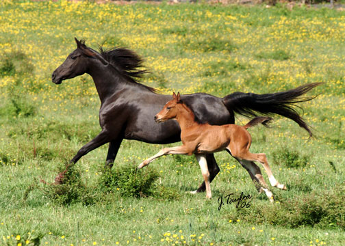 May 2006, pictured with her colt by Gitar MF