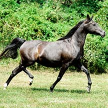 2006 Black Arabian Filly