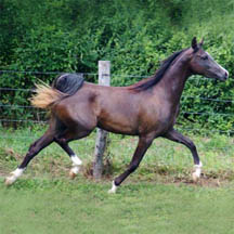 Midnights Clasico Bey - 2003 Black Filly