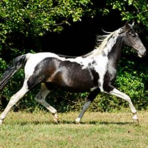 2004 Black/White Pinto Filly