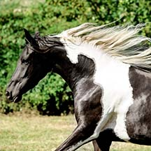 ASA Midnight Fyrefly - 2012 Black/White Pinto Half-Arabian Filly