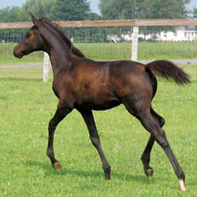 2005 Arabian Filly